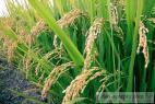 Recept Rýže po staročesku - rýžové pole