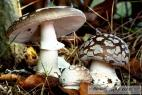 Recept Luxusní vepřové na hříbkách - muchomůrka tygrovaná - nejjedovatější houba Evropy